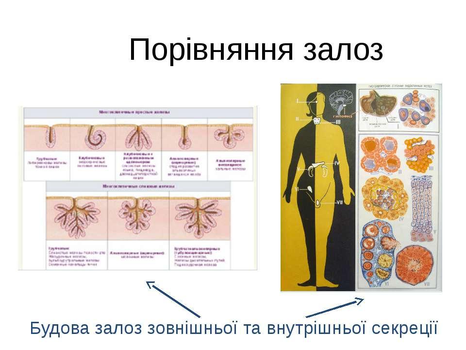 Порівняння залоз Будова залоз зовнішньої та внутрішньої секреції