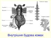 Внутрішня будова комах