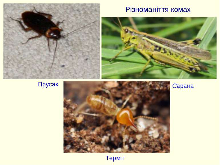 Різноманіття комах Прусак Терміт Сарана