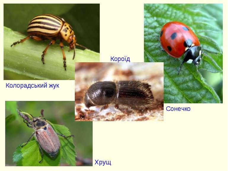 Колорадський жук Сонечко Короїд Хрущ
