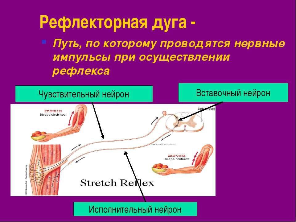 Рефлекторная дуга - Путь, по которому проводятся нервные импульсы при осущест...