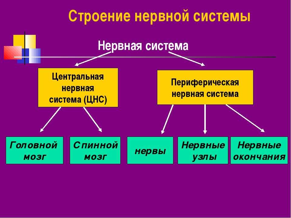 Строение нервной системы Нервная система Центральная нервная система (ЦНС) Пе...