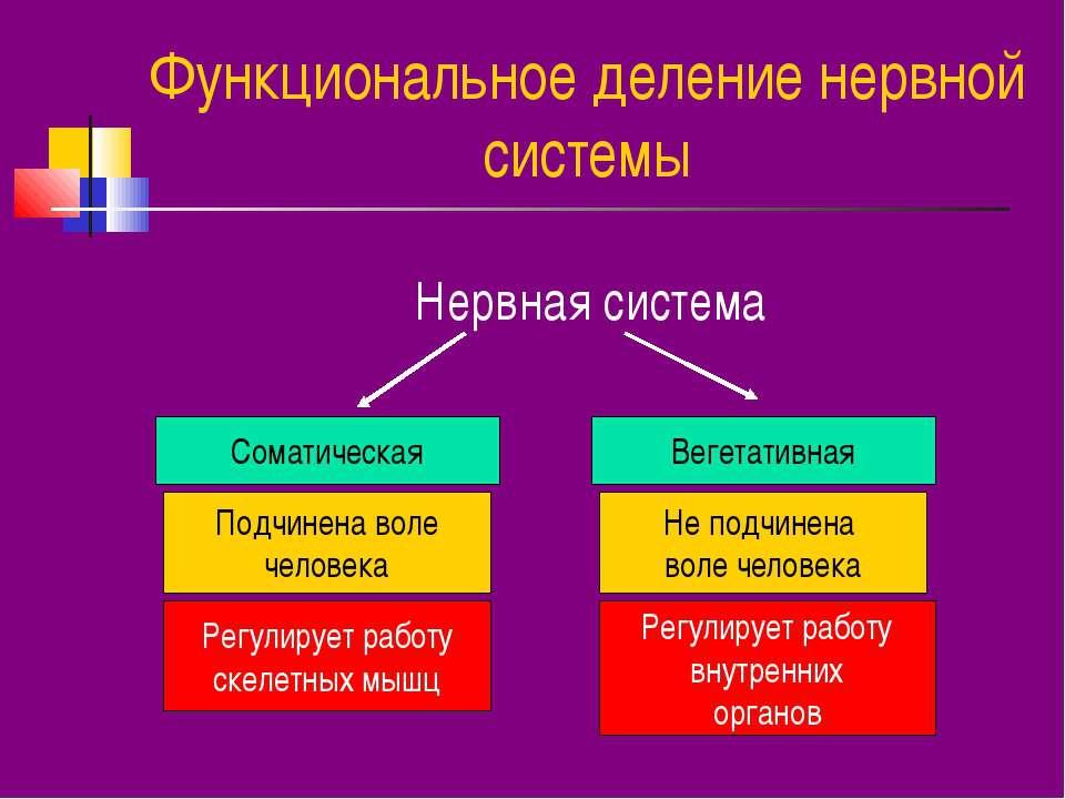 Функциональное деление нервной системы Нервная система Соматическая Вегетатив...