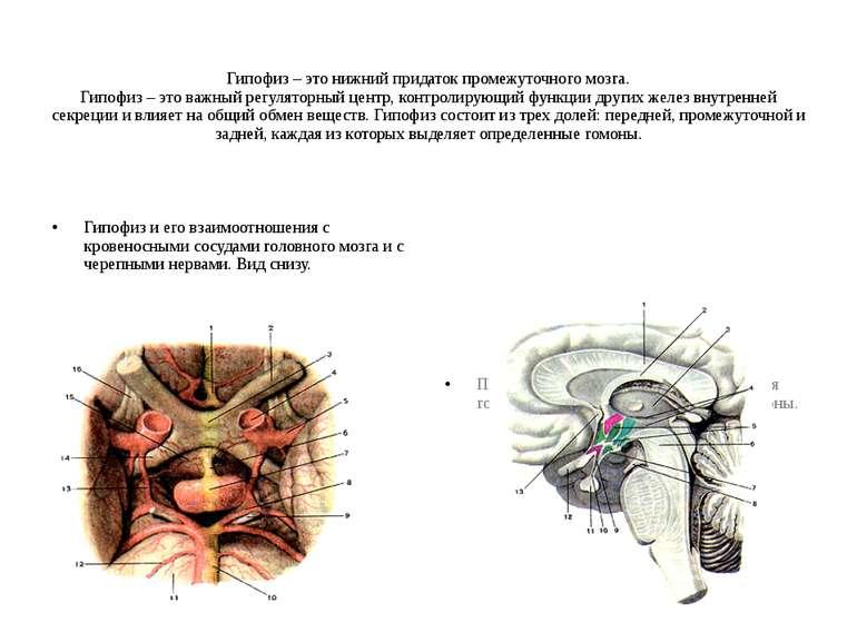 Гипофиз – это нижний придаток промежуточного мозга. Гипофиз – это важный регу...