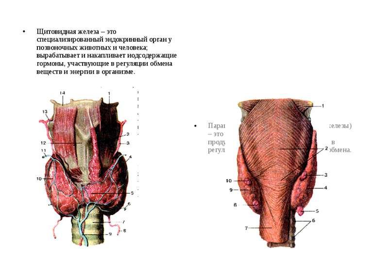 Щитовидная железа – это специализированный эндокринный орган у позвоночных жи...