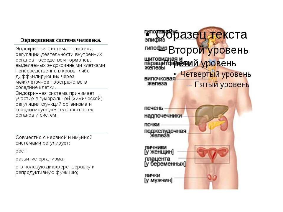 Эндокринная система человека.