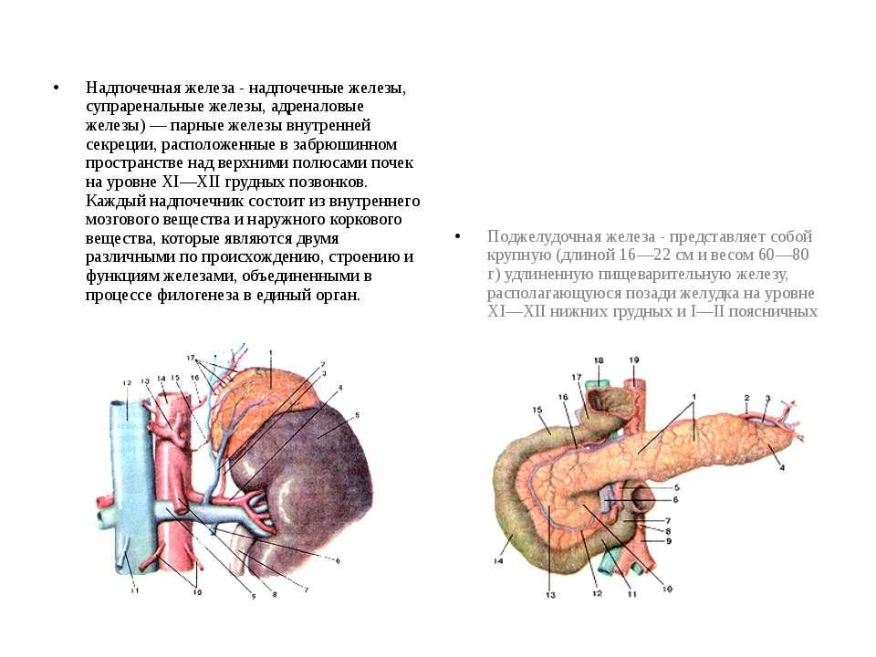 Надпочечная железа - надпочечные железы, супраренальные железы, адреналовые ж...
