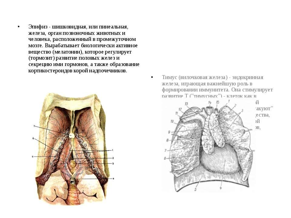 Эпифиз - шишковидная, или пинеальная, железа, орган позвоночных животных и че...