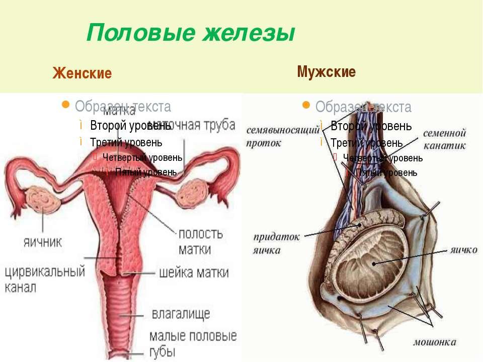 Половые железы Женские Мужские