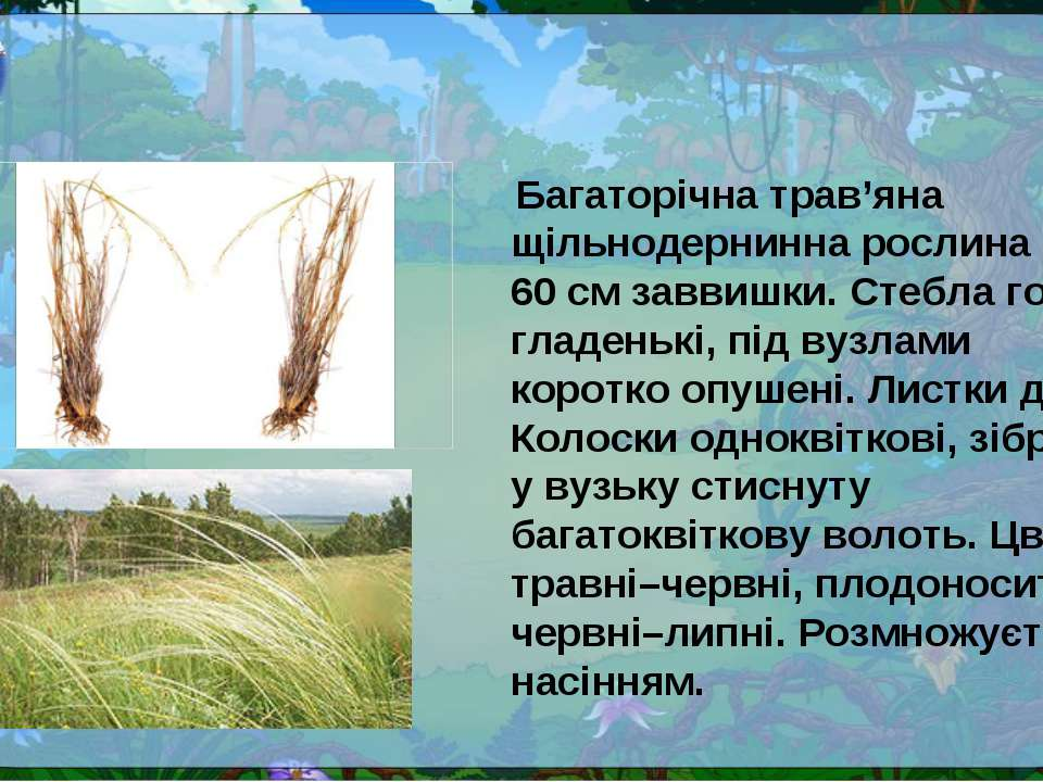 Багаторічна трав'яна щільнодернинна рослина 50–60 см заввишки. Стебла голі й ...