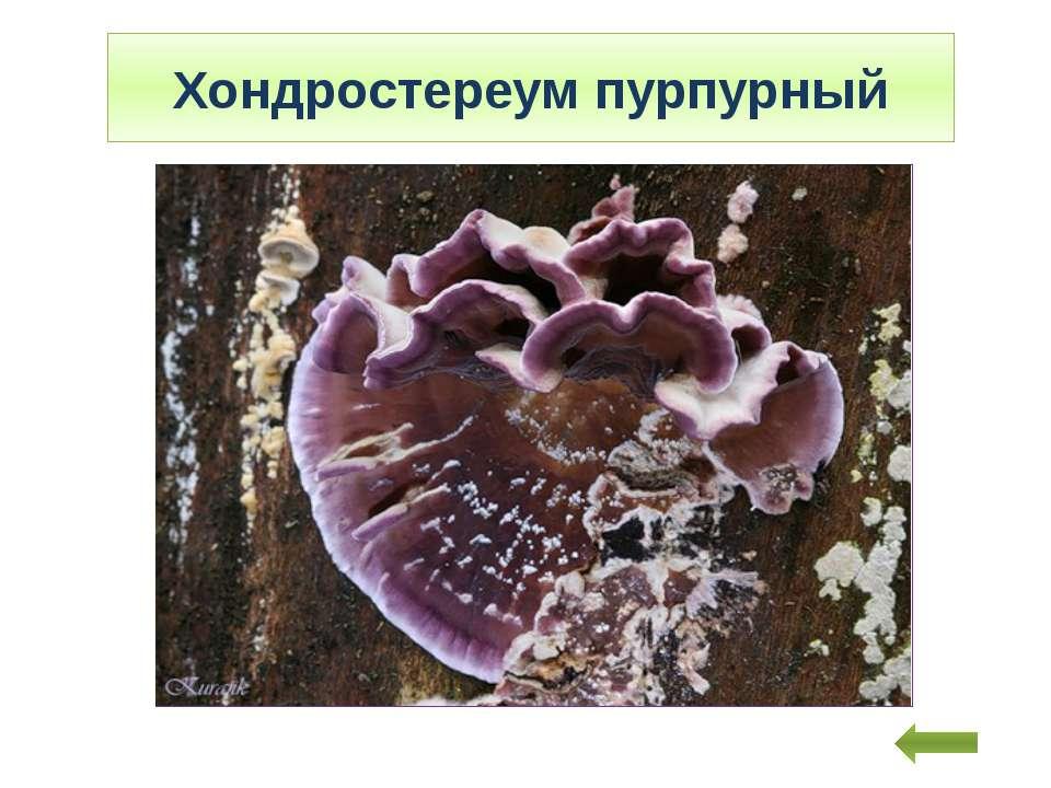 Хондростереум пурпурный