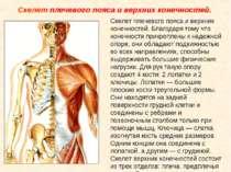 Скелет плечевого пояса и верхних конечностей. Скелет плечевого пояса и верхни...