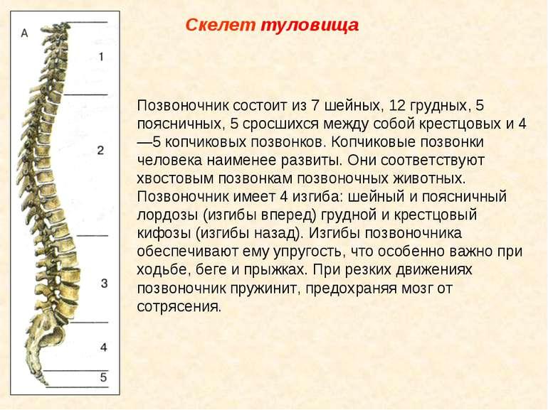 Скелет туловища Позвоночник состоит из 7 шейных, 12 грудных, 5 поясничных, 5 ...