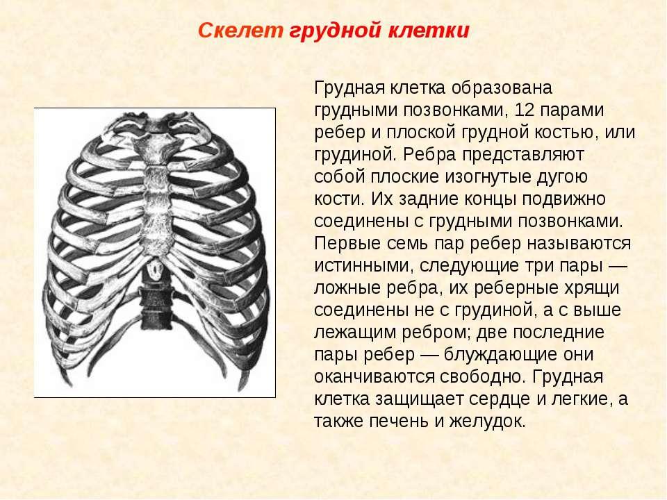 Скелет грудной клетки Грудная клетка образована грудными позвонками, 12 парам...