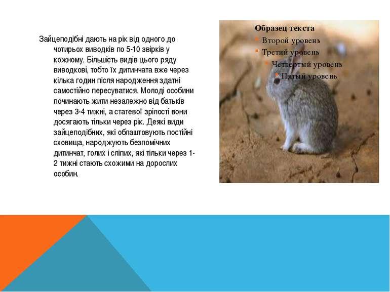 Зайцеподібні дають на рік від одного до чотирьох виводків по 5-10 звірків у к...