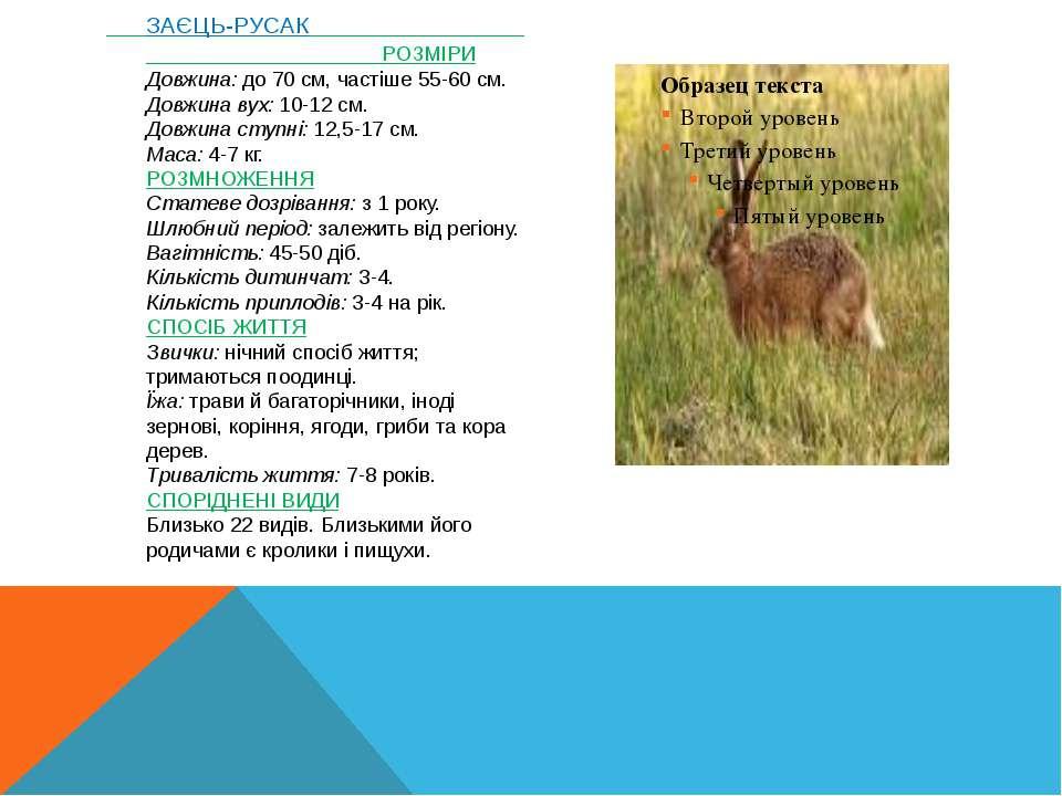 ЗАЄЦЬ-РУСАК РОЗМІРИ Довжина:до 70 см, частіше 55-60 см. Довжина вух:10-12...