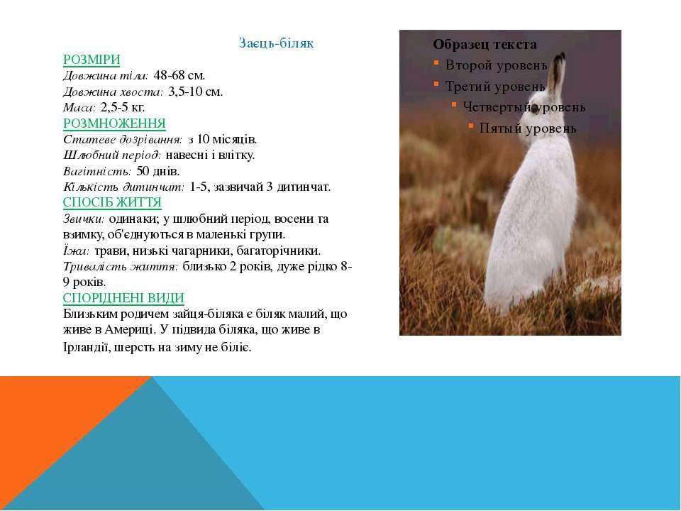 Заєць-біляк РОЗМІРИ Довжина тіла:48-68 см. Довжина хвоста:3,5-10 см. ...