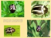 Амброзієвий листоїд – це жук невеликих розмірів, коричневого кольору з зелени...