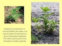 Амброзія полинолиста - вологолюбна рослина, але здатна пристосовуватись і до ...