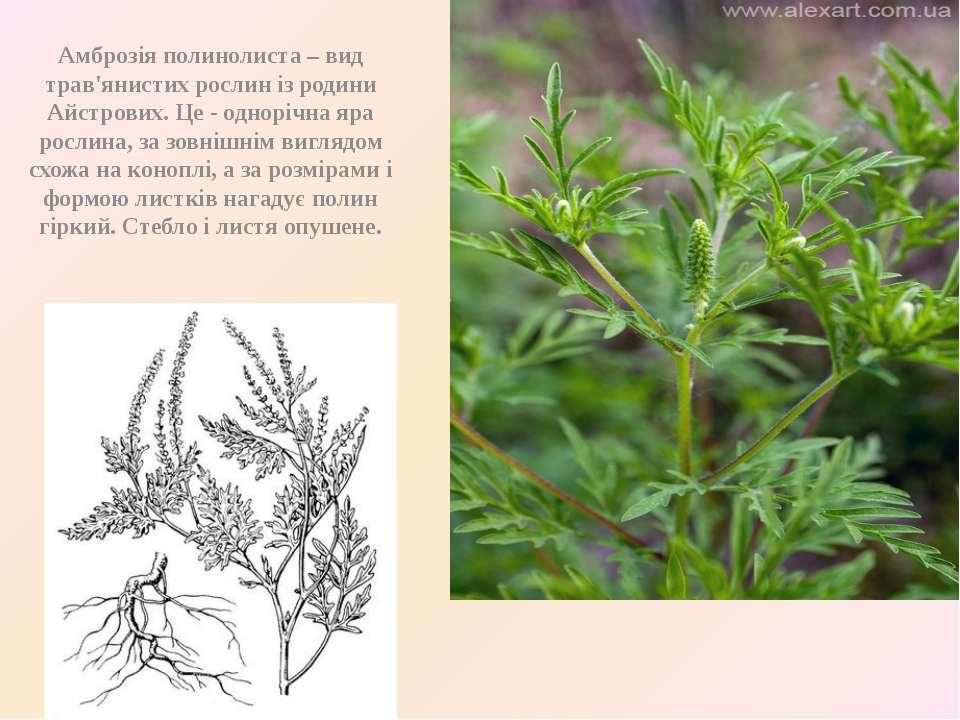Амброзія полинолиста – вид трав'янистих рослин із родини Айстрових. Це - одно...
