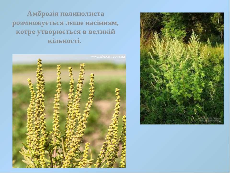 Амброзія полинолиста розмножується лише насінням, котре утворюється в великій...
