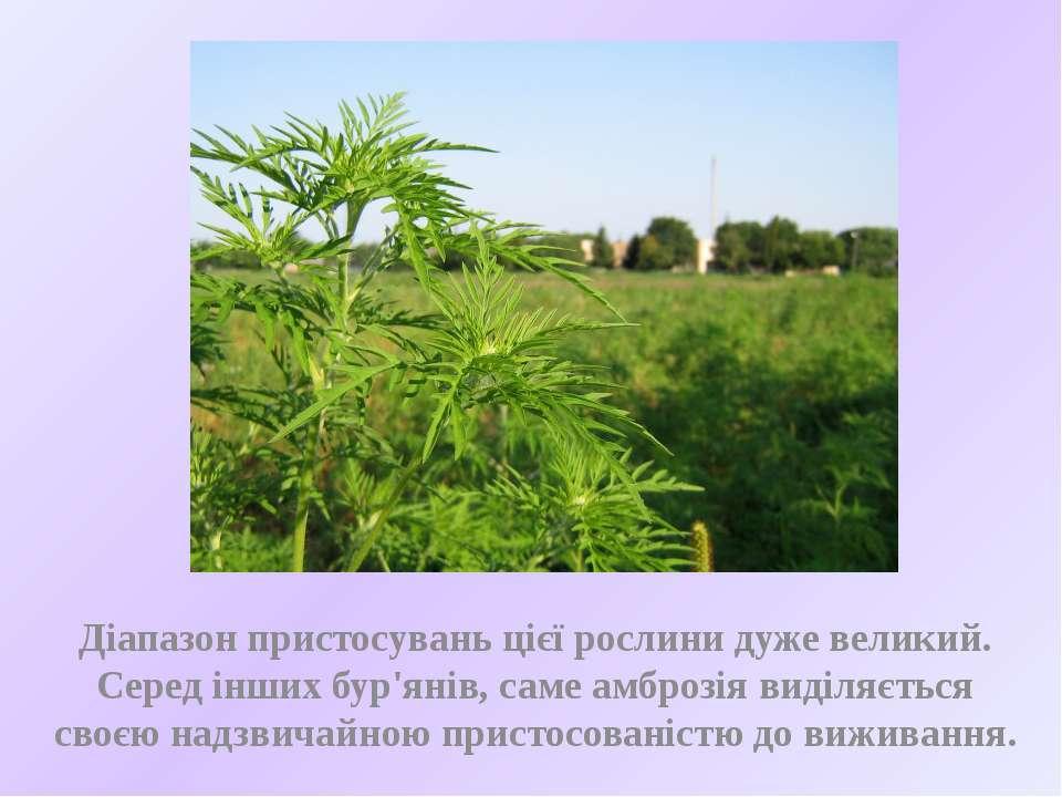 Діапазон пристосувань цієї рослини дуже великий. Серед інших бур'янів, саме а...