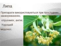 Липа Препарати використовуються при простудних захворюваннях, отруєннях, ангі...