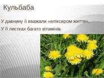 Кульбаба У давнину її вважали «еліксиром життя». У її листках багато вітамінів.