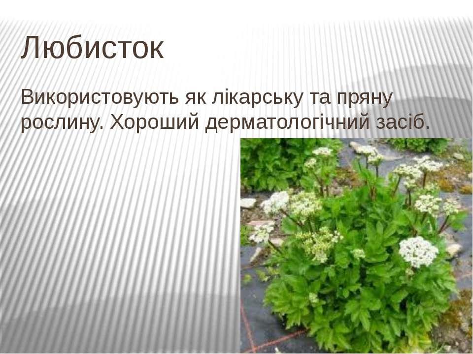 Любисток Використовують як лікарську та пряну рослину. Хороший дерматологічни...