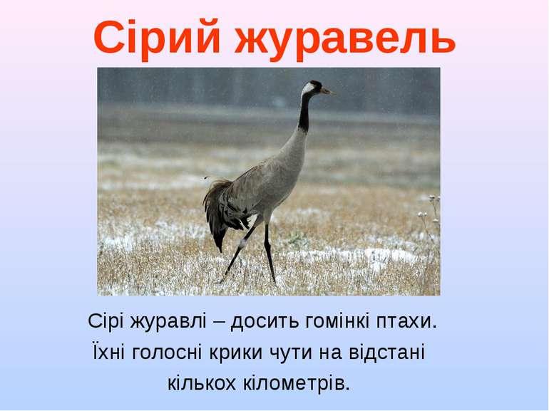 Сірий журавель Сірі журавлі – досить гомінкі птахи. Їхні голосні крики чути н...