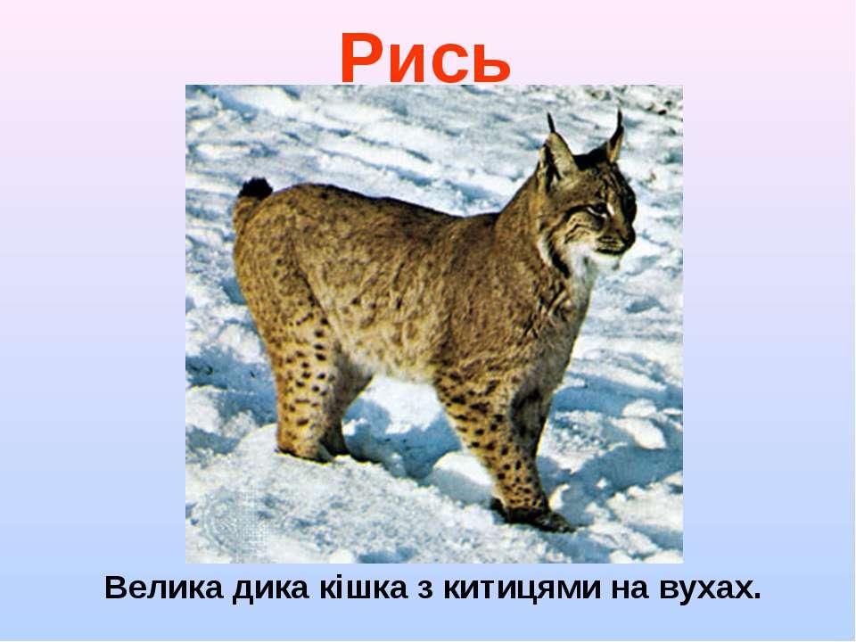 Велика дика кішка з китицями на вухах. Рись