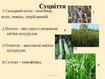 Теслюк Л.П. Суцвіття 1.Складний колос –пшениця, жито, ячмінь, пирій,мишій. 2....