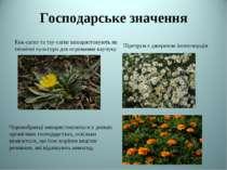 Господарське значення Кок-сагиз та тау-сагиз використовують як технічні культ...