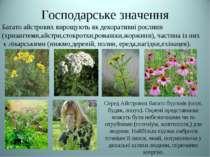 Господарське значення Багато айстрових вирощують як декоративні рослини (хриз...