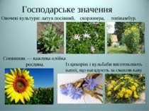 Господарське значення Овочеві культури: латук посівний, скорзонера, топінамбу...