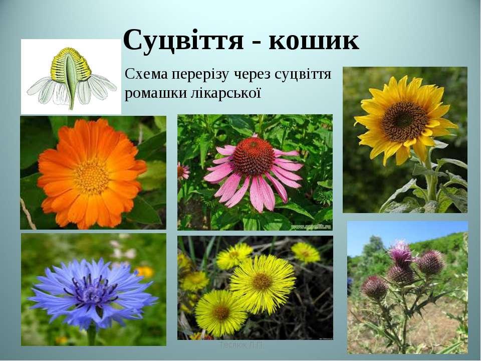 Суцвіття - кошик Схема перерізу через суцвіття ромашки лікарської Теслюк Л.П ...