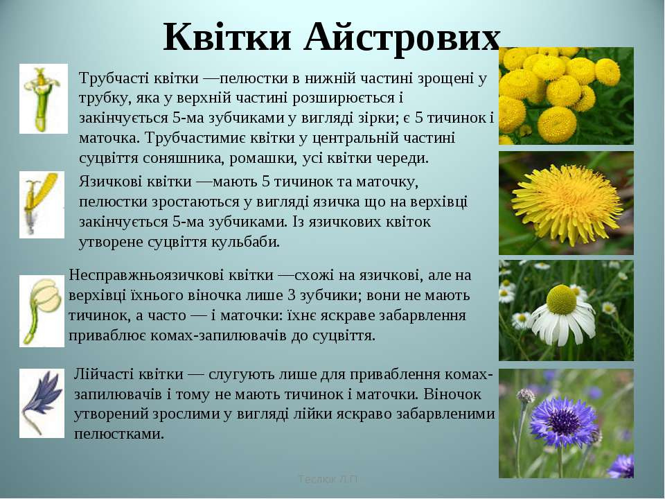 Квітки Айстрових Трубчасті квітки —пелюстки в нижній частині зрощені у трубку...