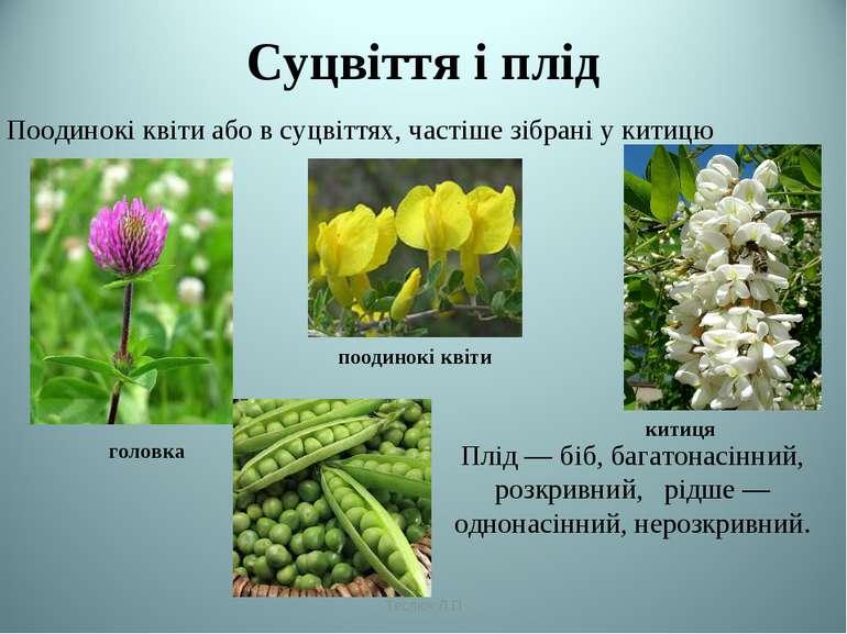 Суцвіття і плід головка поодинокі квіти китиця Плід— біб, багатонасінний, ро...