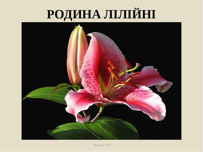 РОДИНА ЛІЛІЙНІ Теслюк Л.П Теслюк Л.П
