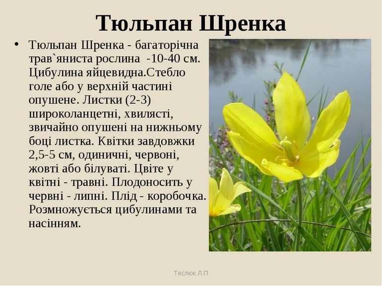 Тюльпан Шренка Тюльпан Шренка - багаторічна трав`яниста рослина -10-40 см. Ци...