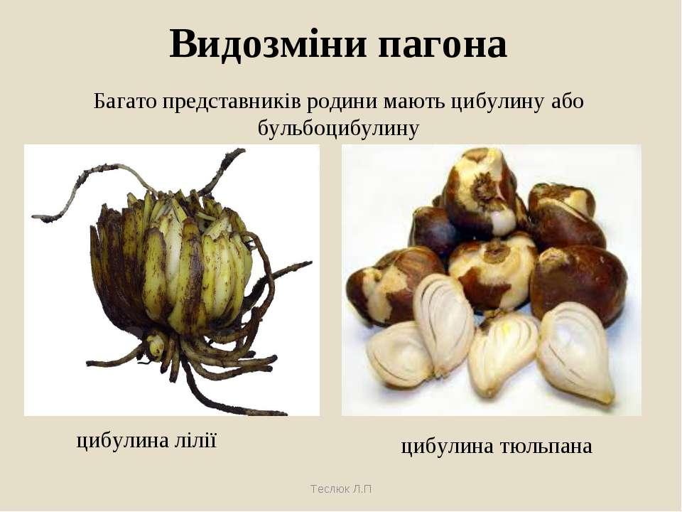 Видозміни пагона цибулина лілії цибулина тюльпана Теслюк Л.П Багато представн...