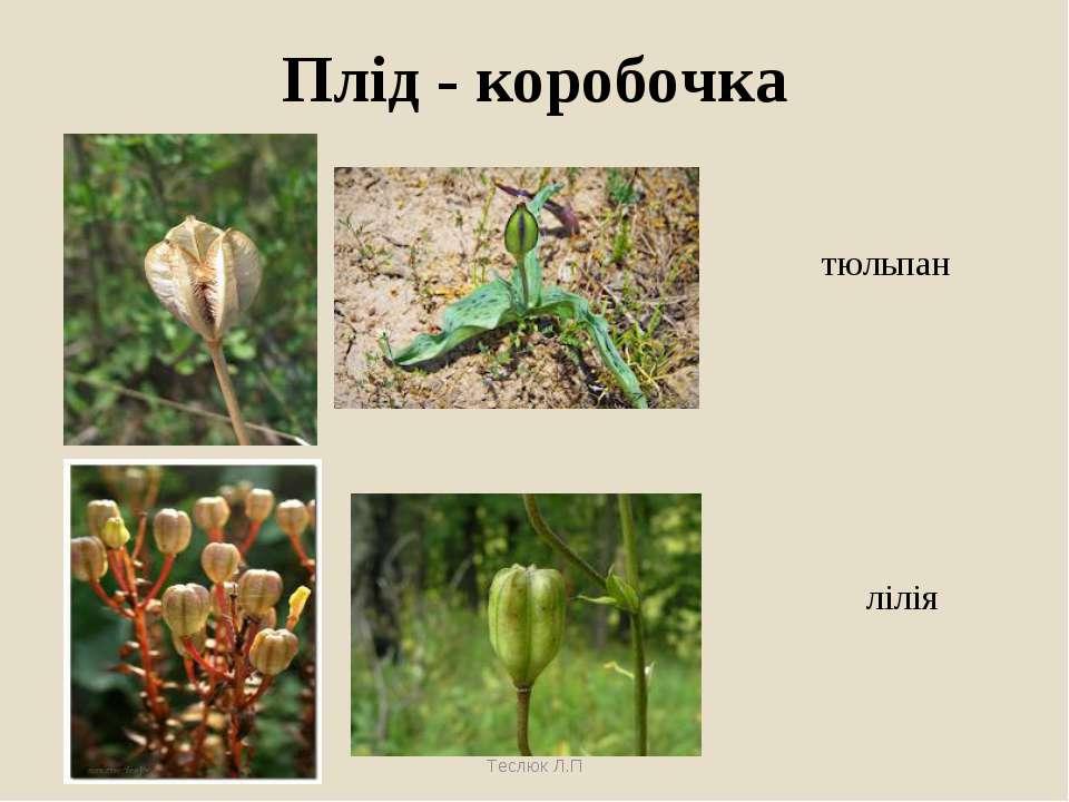 Плід - коробочка тюльпан лілія Теслюк Л.П Теслюк Л.П