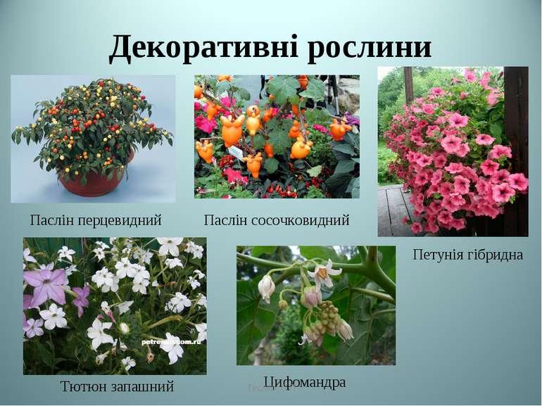 Декоративні рослини Паслін перцевидний Паслін сосочковидний Петунія гібридна ...