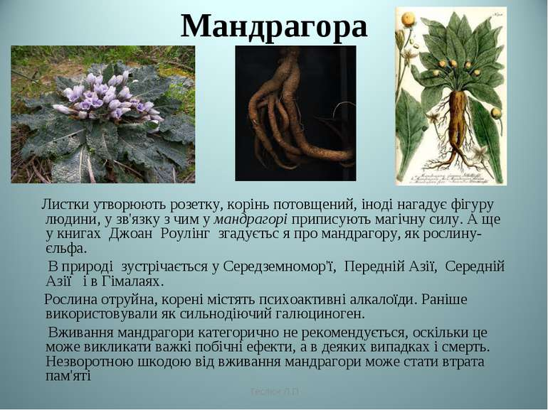 Мандрагора Листки утворюють розетку, корінь потовщений, іноді нагадує фігуру...