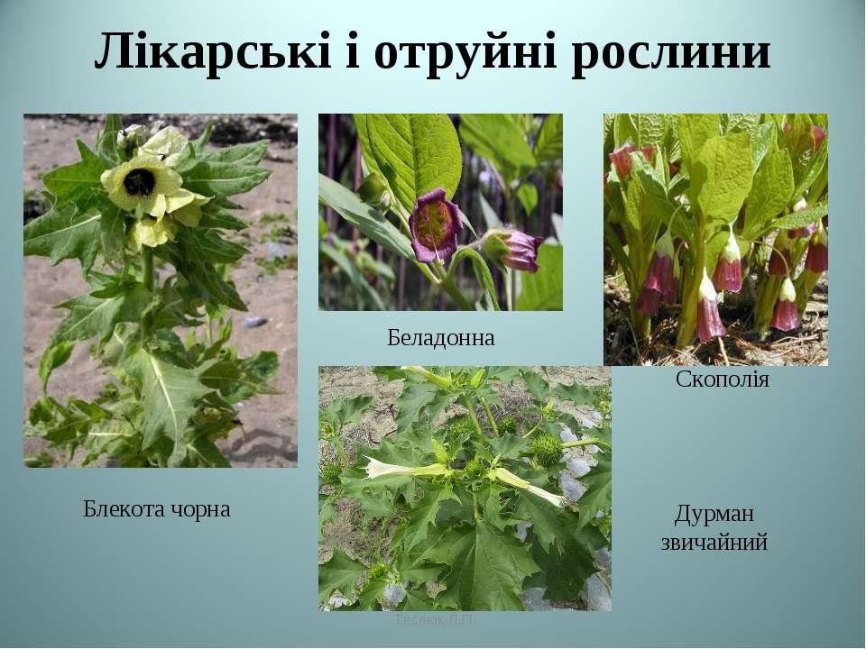 Лікарські і отруйні рослини Блекота чорна Беладонна Скополія Дурман звичайний...