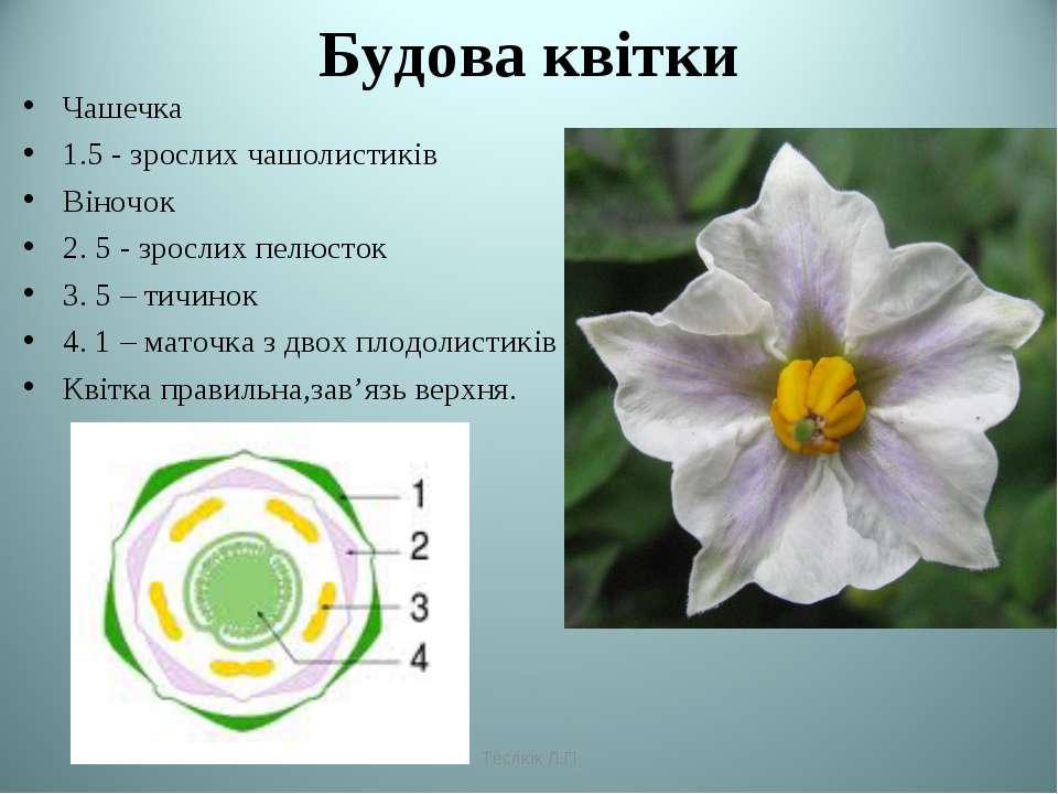 Будова квітки Чашечка 1.5 - зрослих чашолистиків Віночок 2. 5 - зрослих пелюс...