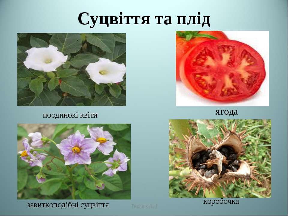 Суцвіття та плід ягода коробочка поодинокі квіти завиткоподібні суцвіття Тесл...