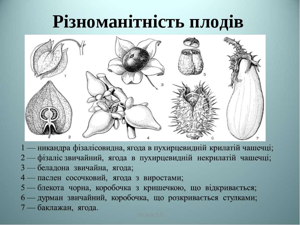 Різноманітність плодів Теслюк Л.П Теслюк Л.П