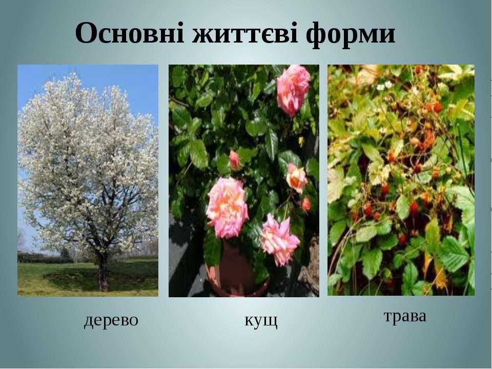 Основні життєві форми дерево кущ трава Теслюк Л.П