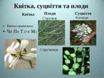 Квітка, суцвіття та плоди Квітка Плоди Суцвіття Квітка правильна. Ч4 П4 Т 2+4...